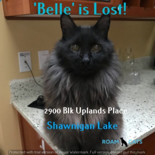 Lost Cat: Belle