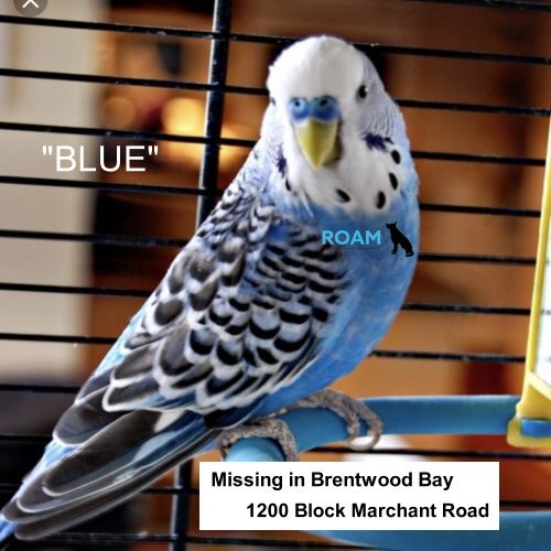 Lost Pet: Blue
