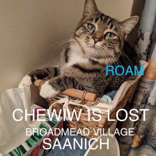 Lost Cat: Chewie