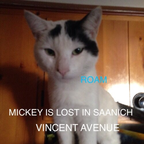 Lost Cat: Mickey