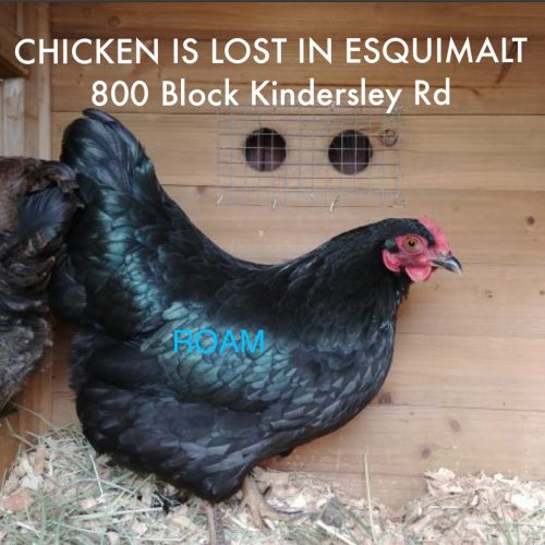 Lost Pet: Chicken