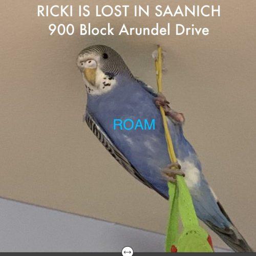 """Lost Budgie """"Ricki"""