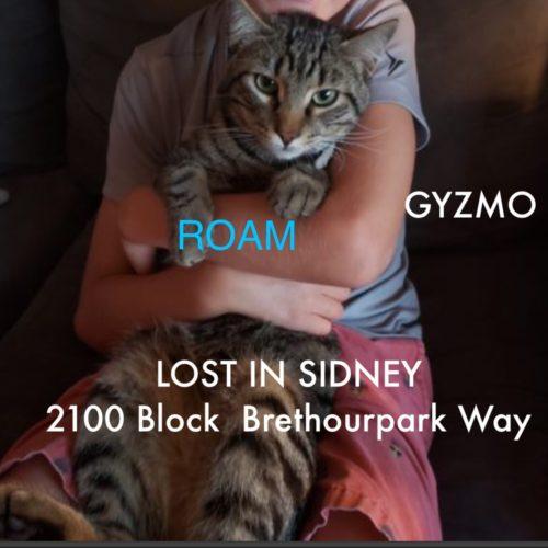 Lost Cat: Gyzmo