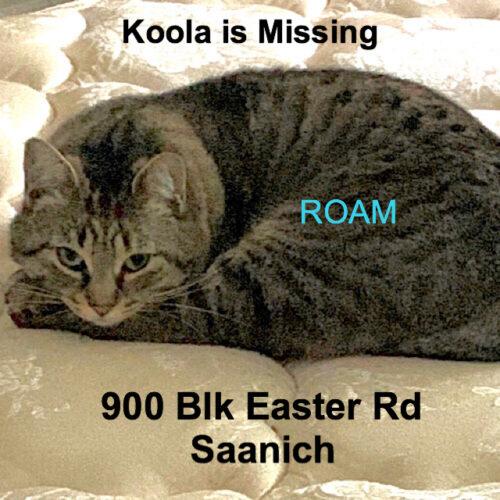 Lost Cat: Koola NEW TO AREA