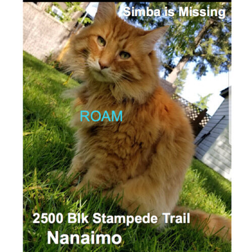 Lost Cat: Simba