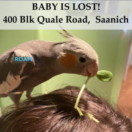 Lost Cockatiel: Baby