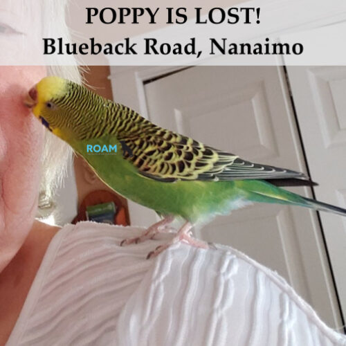 Lost Budgie: Poppy