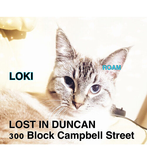 Lost Cat: Loki