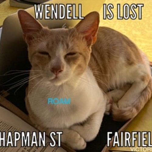 Lost INDOOR Cat: Wendell