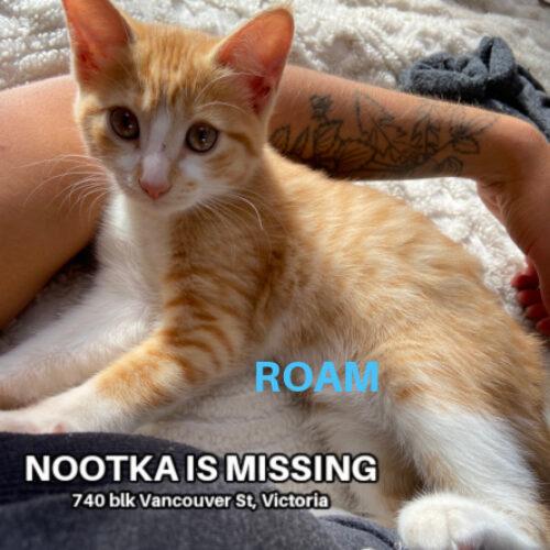 Lost Cat: Nootka