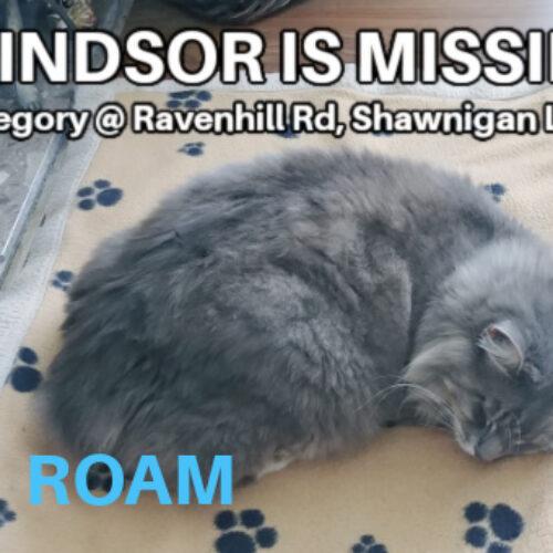 Lost Cat: Windsor